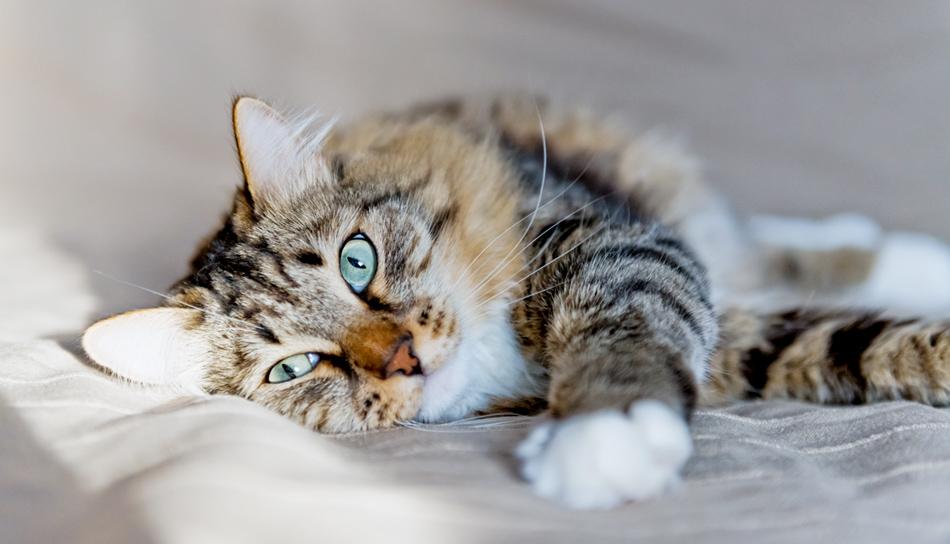 Come Come Capire Se Ci Sono Problemi Di Salute Nel Gatto