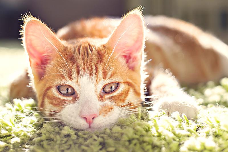 alimentazione-estiva-gatto