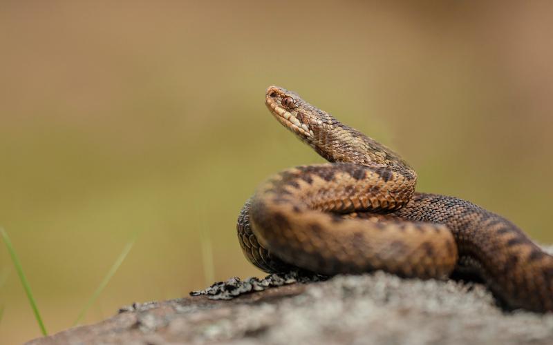 vipera_cani-e-serpenti