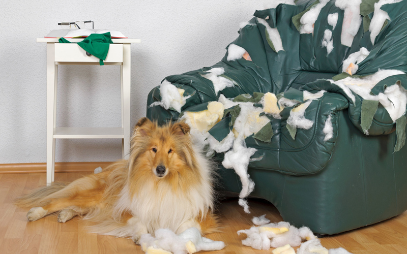 ansia-da-separazione-nel-cane-rosicchia-divano
