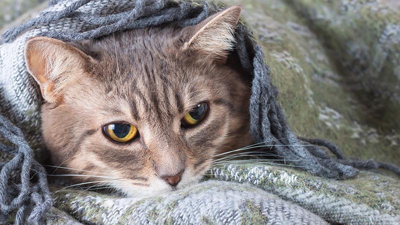img-gatto-coperta-aiutare-cani-e-gatti